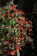 Tropaeolum tricolor (xerantheum) Tags: garden berkeley tricolor tropaeolum geophytes nnbh921