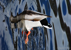 A Different Perspective - Explore # 388 13/03/2013 (Whitto27) Tags: blue water duck different pov explore unusual