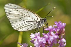 Black-veined White (Aporia crataegi) (Sinkha63) Tags: france orchid macro nature animal butterfly wildlife ngc lepidoptera explore papillon paysage fra blackveinedwhite wildorchid aporiacrataegi pieridae pierinae gymnadeniaconopsea rhnealpes gymnadenia aporia explored piridedelaubpine pierini gaz orchismoucheron treschenucreyers