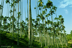Betel Nut Garden (Moshiur Rahman Mehedi ☼) Tags: tree garden sylhet bangladesh betel srimongal supari