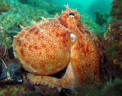 Squinting Pale Octopus (Saspotato) Tags: octopus scubadiving mornington cephalopod morningtonpier paleoctopus
