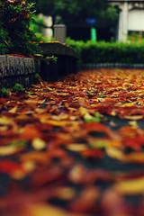 L1011603 (toystore01kkk) Tags: life leica autumn flower japan 50mm kyoto arts 京都 日本 花 旅游 cosmos m9 秋天 艺术 2011 095 里山 leicam9 秋英 leicanoctilux50mmf095