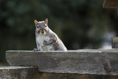You talking to me? IMG_3882 (naderkhoury) Tags: squirel