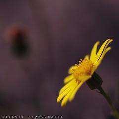 Morning (ZiZLoSs) Tags: flowers macro canon eos 100mm 7d kuwait q8 abdulaziz zizloss almanie uploaded:by=flickrmobile flickriosapp:filter=nofilter