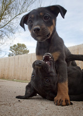 Delfina Pins Down Carolina (Immature Animals) Tags: arizona sky rescue baby black southwest tree cute animal fence puppy mixed eyes lab labrador play tucson young adorable ears az center rottweiler marshall pima whiskers derek bark mutts blacklab females paws rottie koalition pacc backpacc