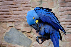 Blue (pantagrapher) Tags: bird nikon puertorico sanjuan exotic macaw d600 galleryinn