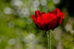 "Poppy bokeh, best viewed on black, press  ""L"" (LKungJr) Tags: flowers red macro gardens petals spring pentax bokeh poppy smcpentaxdal55300mmf458ed mygearandme"