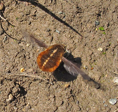 Greater Bee Fly (K Schneider) Tags: major fly bee greater diptera bombylius