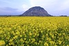 Rapeseed Blossoms (eric_hevesy) Tags: flowers sunset mountain flower field yellow canon landscape spring google blossom korea mm southkorea jeju baidu 1740 springtime jejudo rapeseed naver daum 제주 rapeblossom 百度 漂亮 濟州 제주도 jejuisland 60d sanbangsan 100commentgroup photographyforrecreation dailynaturetnc12 jejudao mtsanbangsan 제주濟州 济州特
