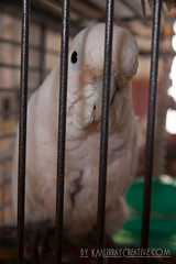 IMG_5347 (ReverieRevel) Tags: pet bird parrot boo cockatoo wetbird wetpet goffinscockatoo wetparrot