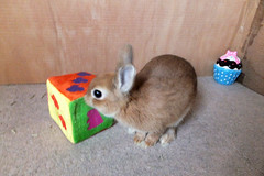 Ichigo san 242 ICHIGO san  (mensore) Tags: family pet brown cute rabbit bunny dwarf netherland ichigo   netherlanddwarf