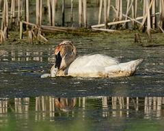2016-06-27 Rollins Savanna 1 (JanetandPhil) Tags: 2016naturepreservesvariouslocations birds rollinssavanna lcfpd lakecountyforestpreservedistrict grayslakeil nikon nikkor d800 800mmf56 cygnet trumpeterswans cygnusbuccinator