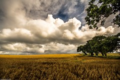 After the rain. (AlbOst) Tags: fields clouds skies wheat scotland centralscotland trees clearingskies