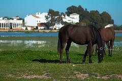 Horses of the village (Osama Ali Photography) Tags: naturaleza salvaje caballo village marsh lake lago horse horses nature wildlife espaa       caballos natura sunshine green verde feeding beauty