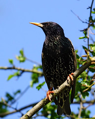 Starling (Nigel B2010) Tags: bird wildlife nature starling countryside uk leicestershire loughborough