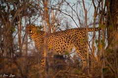 Cheetah marking a tree (Photography by Brian Lauer) Tags: botswana africa safari safaris wildlife travel nikonphotography nikon lion elephant hippo fisheagle saddlebilledstork piedkingfisher lilacbreastedroller wilddog cheetah