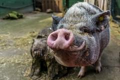 Smile! (pel16931) Tags: alpha animals enkhuizen holland nl nederland netherlands noordholland park sony westfriesland wilhelminapark deer dieren garden heemtuin hertenkamp varken pig zwijn sonyilce6000 ngc