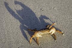 A Warrior (Tiomax80) Tags: warrior batman crab claws shadow foul bay foulbay margaret river margaretriver westernaustralia western australia caves road cavesroad roadtrip sand sandy beach sandybeach sunset orange crabe scary threatening australian tiomax nikon d610 sunlight sable plage pinces claw clawed pince clip summer