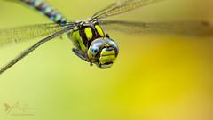 Southern Hawker 3 (ABPhotosUK) Tags: aeshnacyanea animals anisoptera canon dartmoor devon dragonflies ef100400mmisii ef25mmextensiontube eos7dmarkii garden inflight invertebrates macro odonata southernhawker wildlife