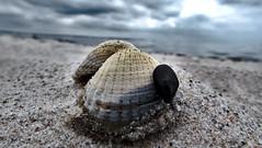 Muschel (MarWen26) Tags: muschel meer kste sand ostsee ozean strand shell ocean sea coast baltic beach schleswig holstein kiel wendtorf laboe marina kalk baden tauchen schnorcheln wolken clouds sonne sun makro fokus focus