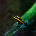 Phyllobate+%C3%A0+bandelettes