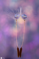 Beauty is imperfection (Trayc99) Tags: dandelion seed floralart closeup macro pastel texture pattern beautyinnature beautyinmacro beautiful decorative delicate droplets drops mirror mirrorimage