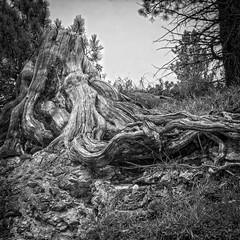 tronco (---- O -----) Tags: andrea lazzarotto tronco legno montagna bn bw albero tree