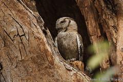 0416 Indien-Zwergohreule - Indian Scops-Owl (uwizisk) Tags: india indien indianscopsowl indienzwergohreule otusbakkamoena otusbakkamoenagangeticus ranthambhorenationalpark