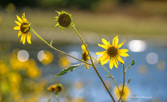 Trailing (TreeRose Photography) Tags: water reflection sunlight wildflowers yellow lake pond shore leaves sunflowers blooms flowers bokeh arizona