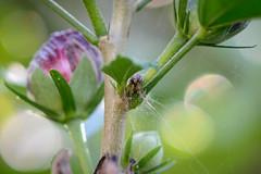 Spinne ganz klein (G_Albrecht) Tags: araneae insect insekt spinne spinnennetz tier umwelt webspinnen