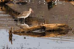 0310 Westl. Uferschnepfe - Western Black-tailed Godwit (uwizisk) Tags: blacktailedgodwit india indien ranthambhorenationalpark uferschnepfe limosalimosa