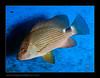 AMB1038-98lutjanus-malabaricus6236_110614 (kactusficus) Tags: reef marine aquarium trade lutjan lutjanus malabaricus