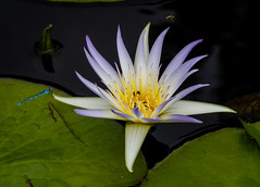 The Water Lily and the Damselfly. (tresed47) Tags: 2016 201608aug 20160805longwoodflowers canon7d chestercounty content flowers flowerscontent folder lily longwoodgardens otherkeywords pennsylvania peterscamera petersphotos places takenby us waterlily