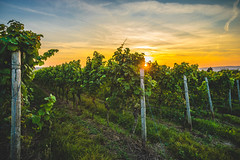 Wineyard Sunset (ChrisTalentfrei) Tags: wineyards wine wineyard sunset sun sundown weinberge weinreben reben wein grapes trauben sony a7ii ilce7m2 sigma 20mm f18 wideangle sky autumn herbst september