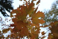 Vaahtera (Ebba Blomqvist) Tags: autumn sysmä leaves