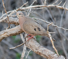 Eared Dove (Neil DeMaster) Tags: dove eareddove wildlife bonaire bonairebird bonairewildlife nature conservation