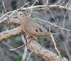 Eared Dove (Neil DeMaster) Tags: dove eareddove wildlife bonaire bonairebird bonairewildlife nature conservation