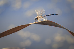 Bladerunner (Geolilli) Tags: dragonfly insect grass pond wings head tails curve composition arabesque 70d canon