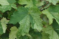 Acer pseudoplatanus 'Variegatus' (Todd Boland) Tags: leaves foliage maple acer