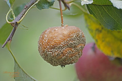 The hard work of gardener was wasted by hornets (Dorota.S - !) Tags: apple fruits