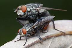 Hope I'm Not Intruding (Doundounba) Tags: pentax k3 pentaxdfa100mmf28macro raynox dcr250 macro fly flies mating diptera mouche insect insecte bug montral qubec jardinbotanique botanicalgarden ihd topf25