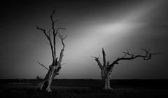 Dead wood (vulture labs) Tags: dead oak trees mundon long exposure bw fine art photography petrified essex tree