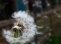 Make a wish (leannebrookes64) Tags: nature garden colour white makeawish macro dandelion flower