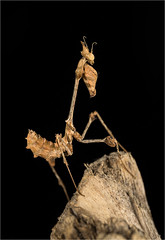 Violin Mantis (alone68) Tags: canon captivelight workshop nature wildlife