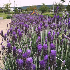Flower Fragility Growth Freshness Purple Beauty In Nature Nature Petal Plant In Bloom Field Stem Springtime Close-up Abundance Blossom Lavender Day Scenics Flower Head (itzelcruz1) Tags: flower fragility growth freshness purple beautyinnature nature petal plant inbloom field stem springtime closeup abundance blossom lavender day scenics flowerhead