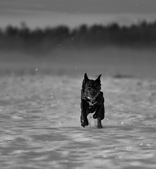 On the run (ken@pi) Tags: winter bw dog snow dof rocky run hund koira redring canon70200mmf4l whitel sderfjrden canon50d skaran highqualitydogs highqualityanimals