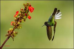 Black-bellied Hummingbird (Chris Jimenez - Take Me To The Wild) Tags: chris nature birds happy costarica birding hummingbirds hummers jimenez wildlifenature blackbelliedhummingbird eupherusanigriventris