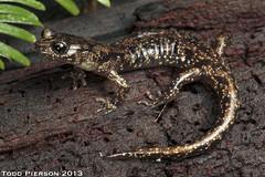 Aneides vagrans: Wandering Salamander (Todd W Pierson) Tags: salamander todd wandering pierson amphibia caudata plethodontidae aneides vagrans lungless plethodontid wanderingsalamander aneidesvagrans toddpierson