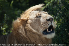"""Lion in the STorm • <a style=""""font-size:0.8em;"""" href=""""http://www.flickr.com/photos/56545707@N05/8364616467/"""" target=""""_blank"""">View on Flickr</a>"""