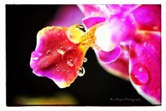 IMG_1050 (JRCmoreno) Tags: flowers macro purple orchids waterdroplets